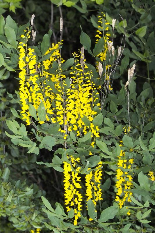 Goldregen Blüten und alte Samenschalen