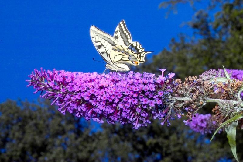 Schwalbenschwanz an Schmetterlingsflieder Buddleia 2